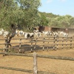 Die Butteri treiben die Rinder zum Gatter