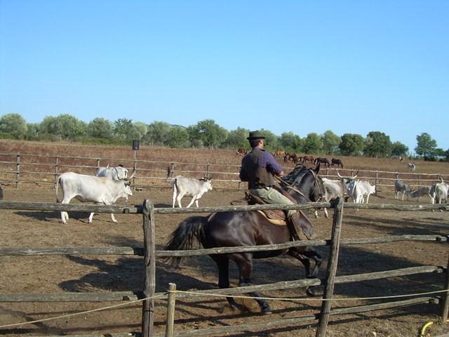 Buttero Marco bei der Rinderarbeit