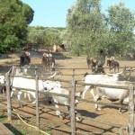Rinder treiben